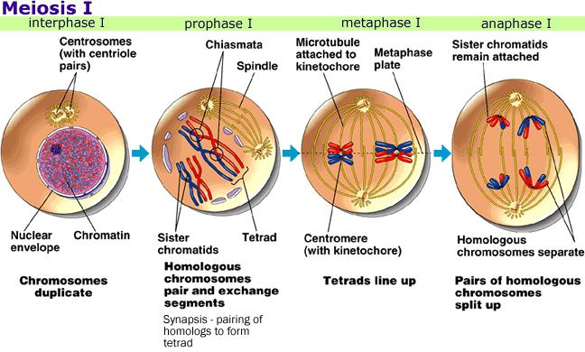 what are the 4 stages of meiosis